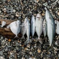 七星潭海灣常見魚種